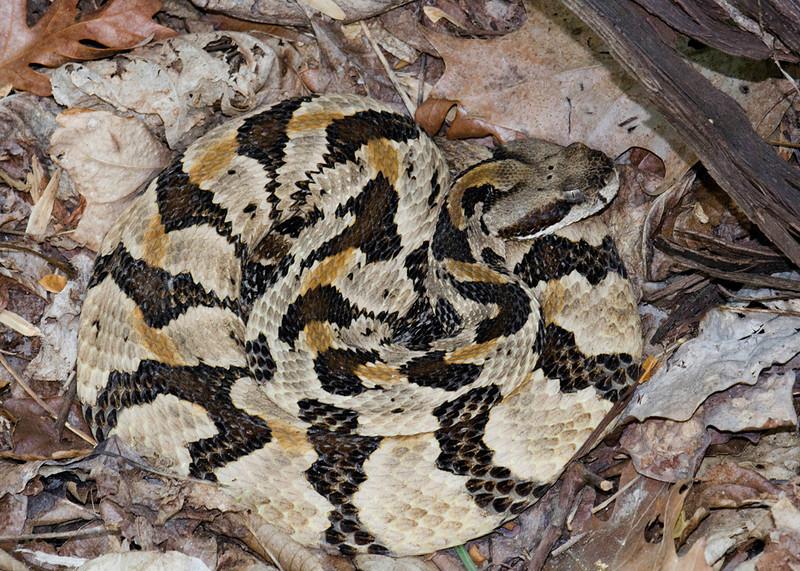 Southern Timber Rattlesnake