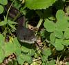 Rat Snake (Pantherophis spiloides)