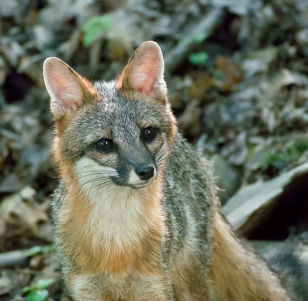 Grey Fox female
