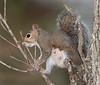 Nursing female squirrel