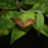 could be Hackberry emperor, Asterocampa celtis