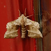 walnut sphinx moth or virginia creeper sphinx moth
