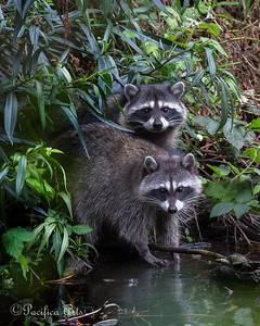 A couple of juvenile Raccoons at North Lake in Golden Gate Park