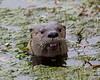 """Where's my fish?""  (Wild North American River Otter at the Sutro Bath ruins near San Francisco beach.)"