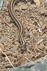 Look who I found on the beach at Pillar Point Harbor - a little Garter Snake!