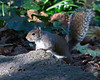 """...and how's this pose?""  (Gray Squirrel)"