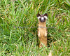 Long-tailed Weasel.  Cute overload.