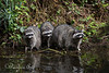 A couple of juvenile Raccoons with their Mom, at North Lake in Golden Gate Park