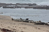 Harbor Seals on the beach at Fitzgerald Marine Reserve, Moss Beach, California