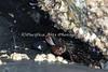 A Crab hiding in the rocks at Pillar Point Harbor, Half Moon Bay, California