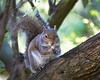 Munch, munch, munch!  (Gray Squirrel)