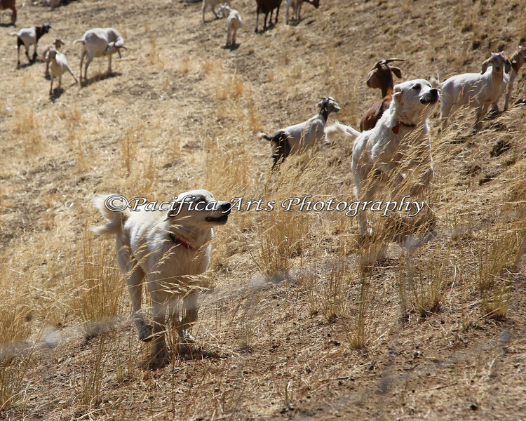 The large herd of goats are protected by Livestock Guardian Dogs.  These two work as a team, and are always on the alert near the fenced perimeters.