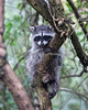 Raccoon (juvenile) climbing up a tree on the shore along North Lake in Golden Gate Park.