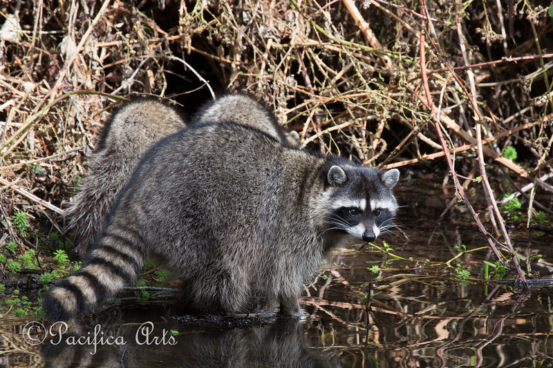 A couple of juvenile Raccoons with their Mother, at North Lake in Golden Gate Park