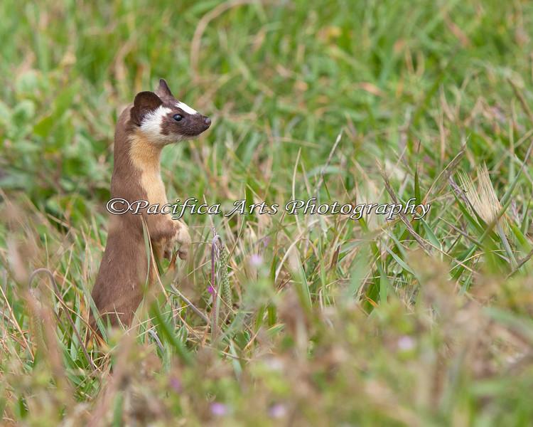 Long-tailed Weasel (Mustela frenata)