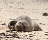 A Harbor Seal pup on the beach at Fitzgerald Marine Reserve, Moss Beach, California.  (This is the best photo I could get with my 100-400 zoom lens, since we have to stay 300 yards away from the Harbor Seals.)
