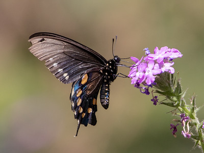 2019-04-15  Pipevine Swallowtail