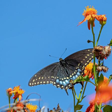 2019-04-14  Black Swallowtail (female)