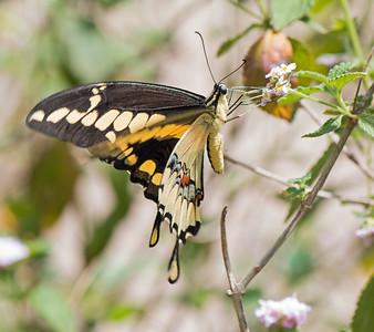 2016-03-25  Giant Swallowtail