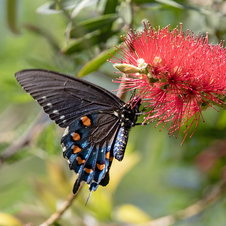 2019-04-14  Pipevine Swallowtail