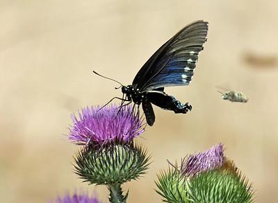 2014-07-13  Spicebush Swallowtail