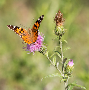 2017-08-05  Painted Lady