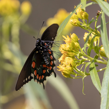 2020-02-02  Pipevine Swallowtail