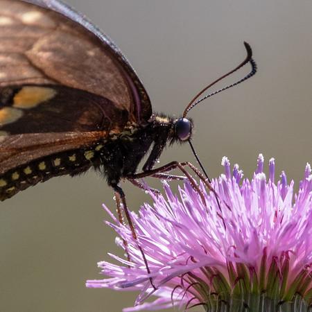 2019-04-15  Black Swallowtail