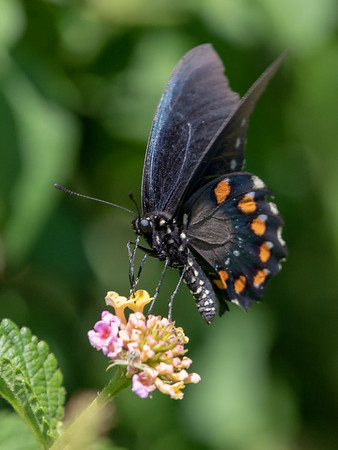 2019-04-18  Pipevine Swallowtail