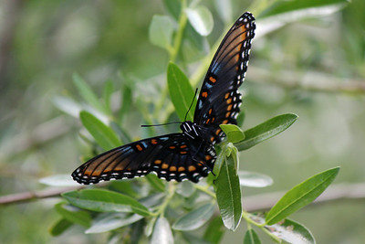 2014-08-23  Red-spotted Purple