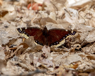 2021-04-04  Mourning Cloak