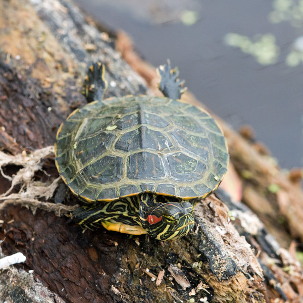 2017-04-11 Red-eared Turtle