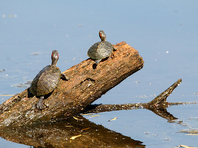 2017-04-15  Red-eared Turtles