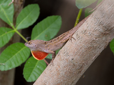 2017-04-10  Brown Anole