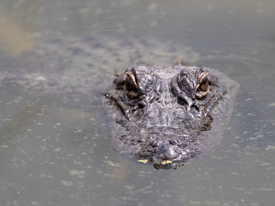 2019-04-13  American Alligator