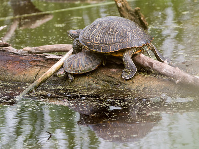 2017-04-12  Red-eared Turtle
