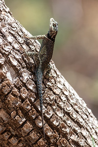 2019-09-07  Mountain Spiny Lizard