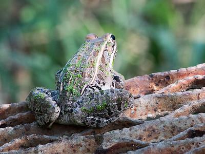 2017-04-13  Laguna Atascosa National Wildlife Refuge, Los Fresnos, Texas