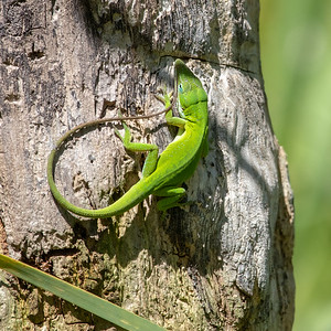 2020-04-13  Green Anole