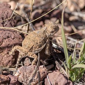 2019-10-12  Horned Lizard