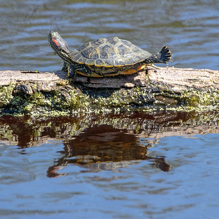 2020-04-13  Red-eared Turtle