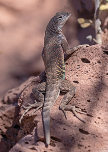 2019-03-30  Greater Earless Lizard