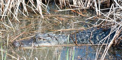 2016-03-27  American Alligator