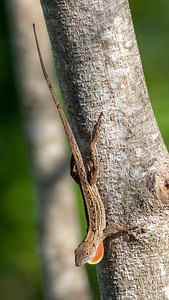 2019-11-10  Brown Anole