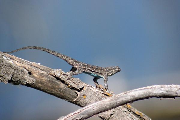 2015-06-14  Ornate Tree Lizard