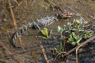 2016-03-27  Alligator Hatchling