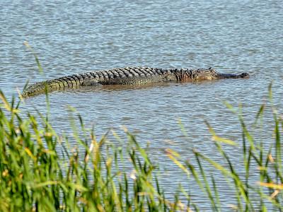 2019-04-18  American Alligator