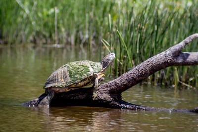 2016-03-24  Sunbathing Turtle