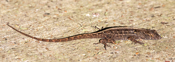 2017-04-13  Brown Anole