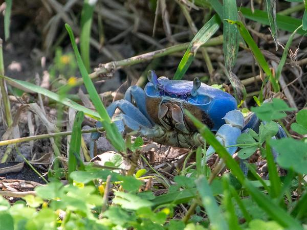 2019-04-13  Blue Crab